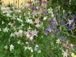 садовая аквилегия