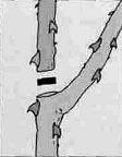 обрезка розы - рис.3 - Удаление обрубка: остаток побега обрезают
