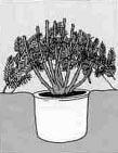 4. Калочные розы опускают в землю.