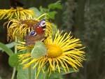 девясил - фото цветка