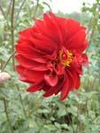 георгин садовый цветок