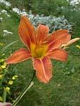 цветок лилейник фото