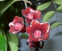 Цветки Аesсhinanthus