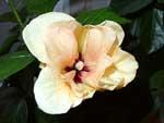 Цветок желтого гибискуса
