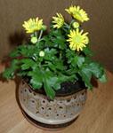 Крошечная кустовая хризантема