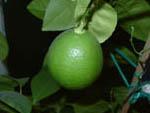 лимон комнатный