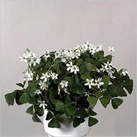 Oxalis triangularis ssp. papilionacea