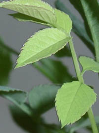 Молоденький листочек карликовой розочки