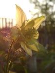 цветение аквилегии