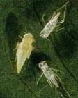 Резанные цикады