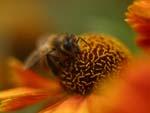 цветение гелениума
