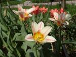 посадка тюльпана