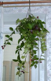 Аesсhinanthus у меня дома
