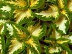 Колеус гибридный фото