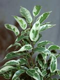 вот какие нежные листочки у Ficus benjamina