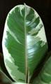 а вот так выглядят здоровые листья моего фикуса