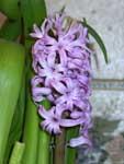 Расцвел гиацинт с изумительным цветом цветков - нежно-лиловый! - 29-1-2003
