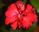 Цветок красного гибискуса