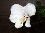 Цветок белого гибискуса