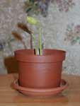 хурма - вырастает из семечек