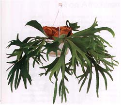 Platicerium bifurcatum, платицериум дваждывильчатый