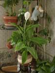 СПАТИФИЛЛУМ - цветок