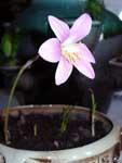 цветок ЗЕФИРАНТЕСА